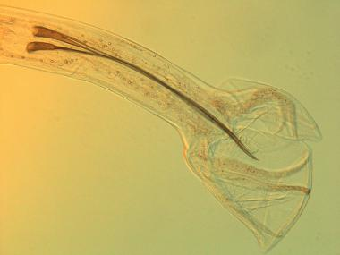 male nematode tail